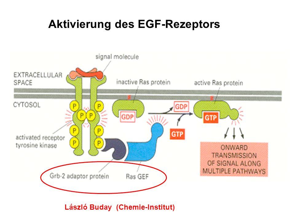 Aktivierung des EGF-Rezeptors