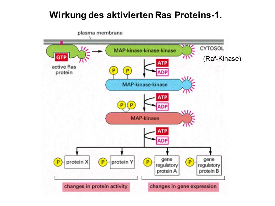 Wirkung des aktivierten Ras Proteins-1.