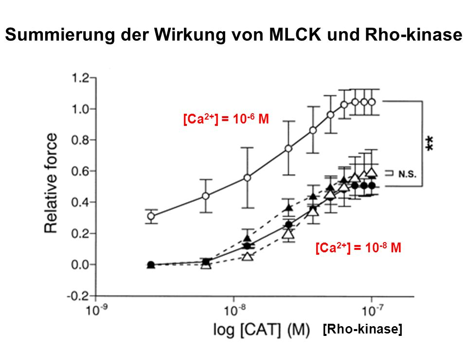 Summierung der Wirkung von MLCK und Rho-kinase