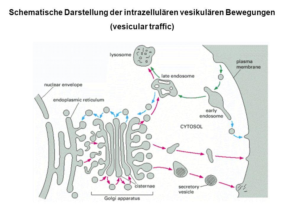 Schematische Darstellung der intrazellulären vesikulären Bewegungen