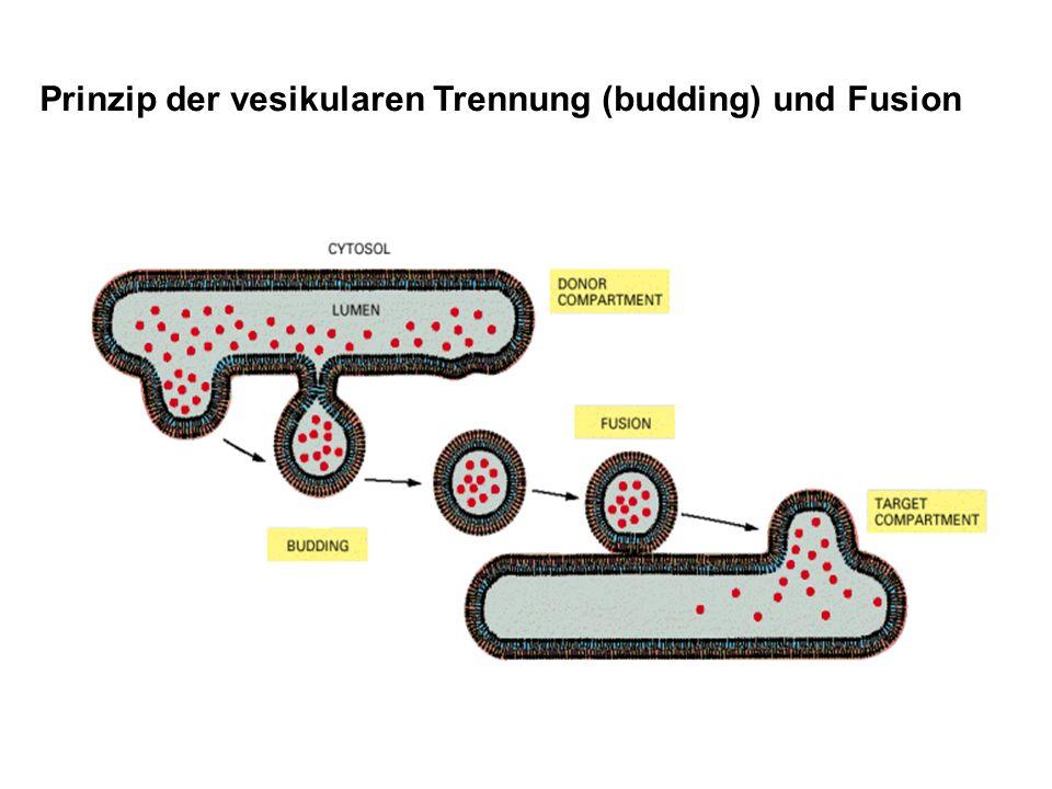 Prinzip der vesikularen Trennung (budding) und Fusion