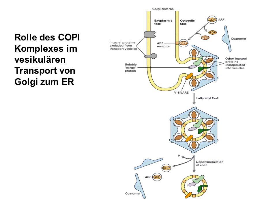 Rolle des COPI Komplexes im vesikulären Transport von Golgi zum ER