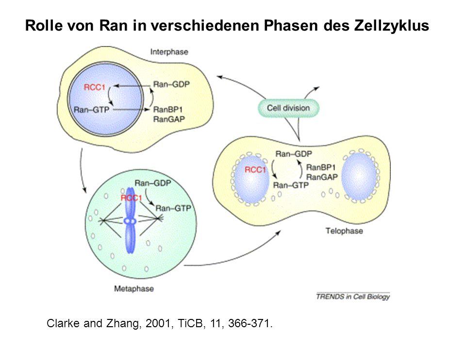 Rolle von Ran in verschiedenen Phasen des Zellzyklus