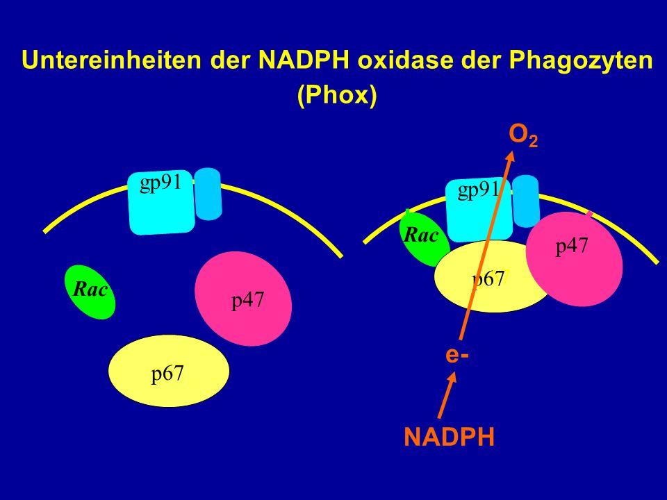 Untereinheiten der NADPH oxidase der Phagozyten (Phox)