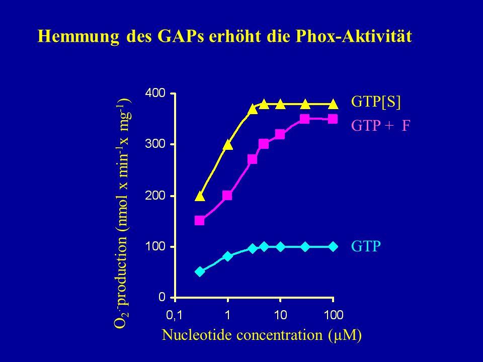 Hemmung des GAPs erhöht die Phox-Aktivität