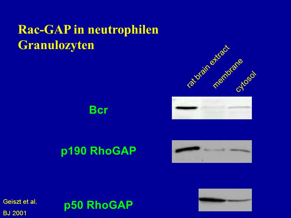 Rac-GAP in neutrophilen Granulozyten