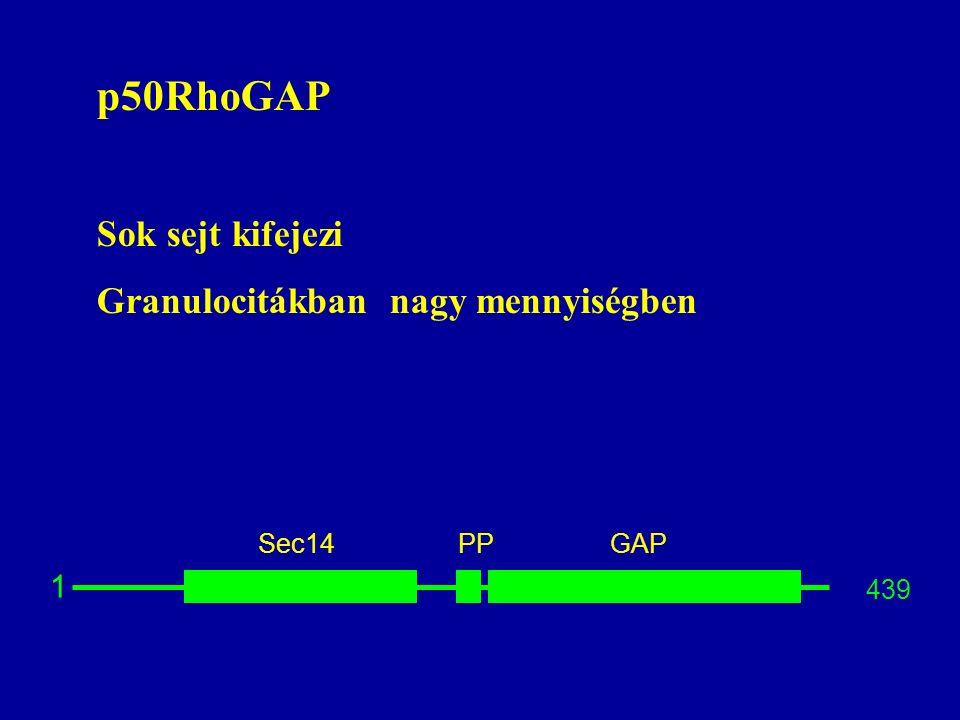 p50RhoGAP Sok sejt kifejezi Granulocitákban nagy mennyiségben 1 Sec14