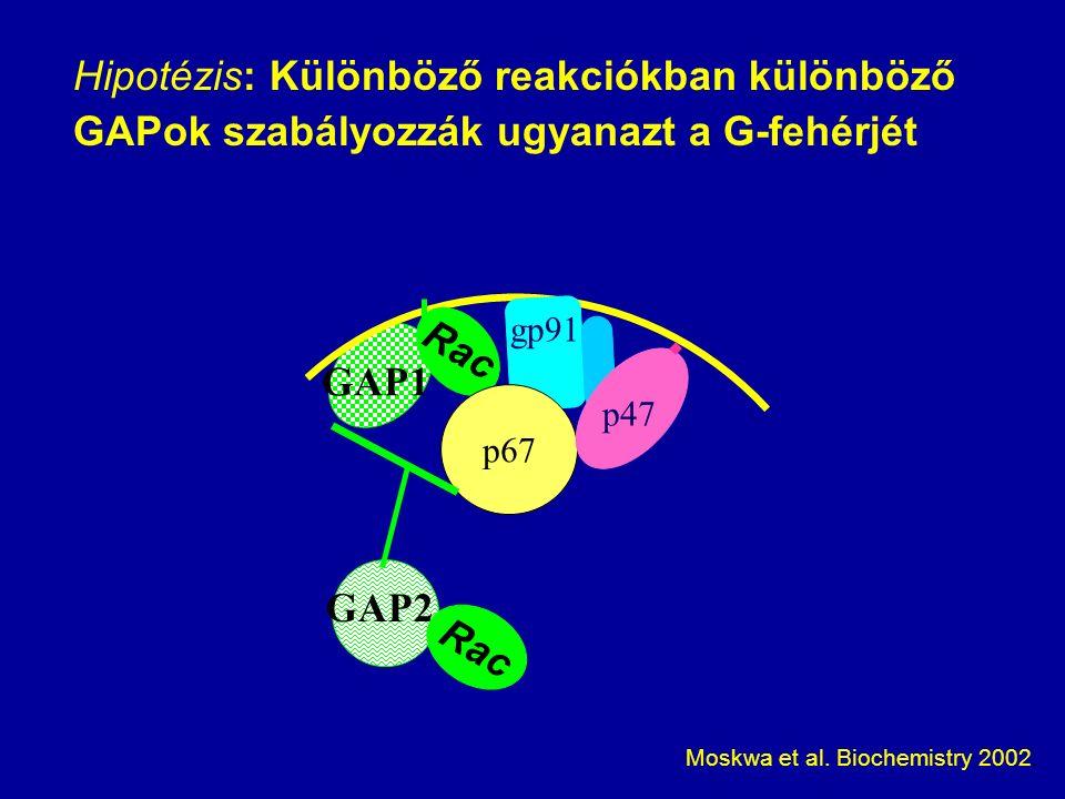 Hipotézis: Különböző reakciókban különböző GAPok szabályozzák ugyanazt a G-fehérjét