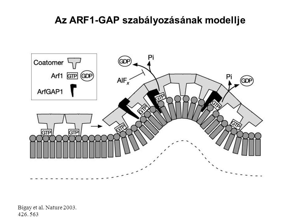Az ARF1-GAP szabályozásának modellje
