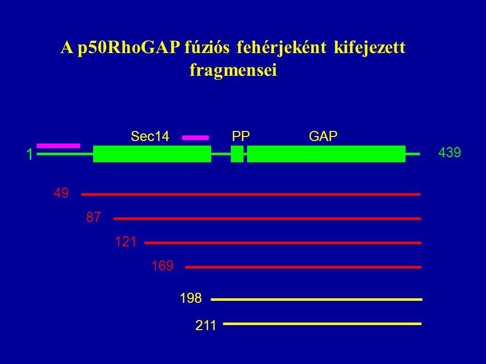 A p50RhoGAP fúziós fehérjeként kifejezett fragmensei