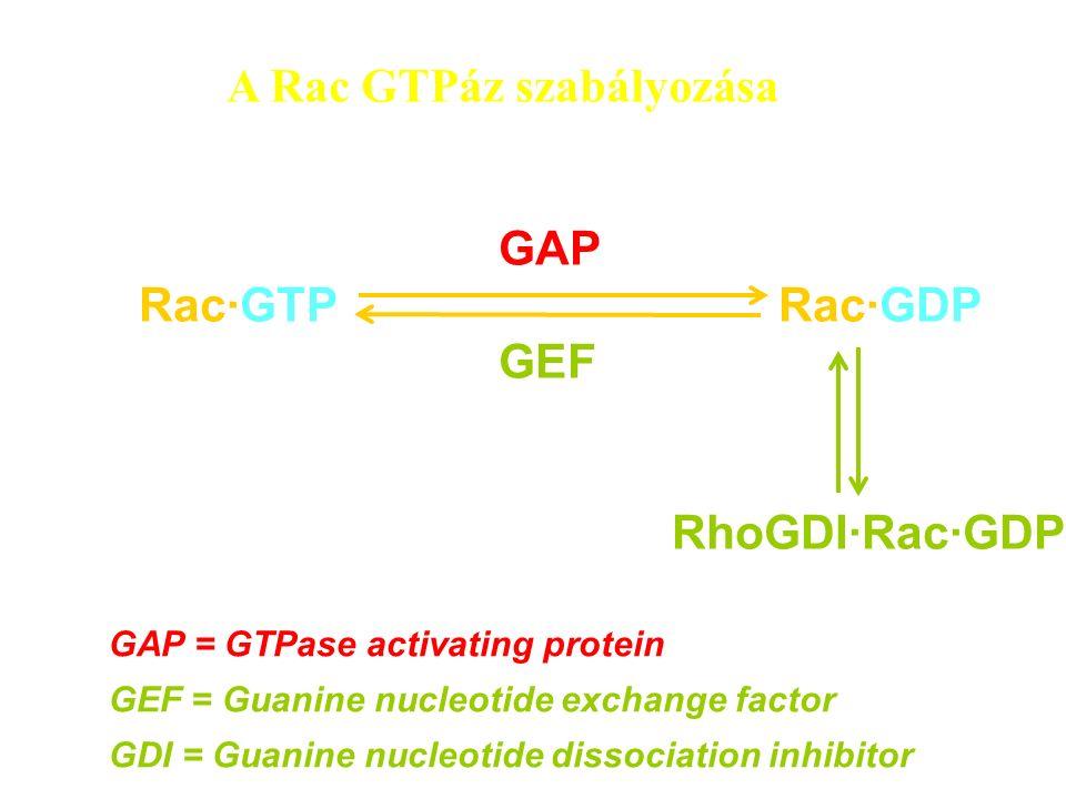 A Rac GTPáz szabályozása