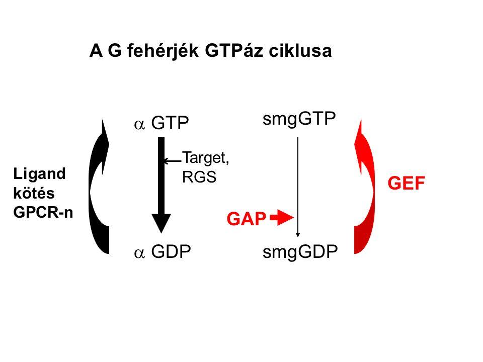 A G fehérjék GTPáz ciklusa