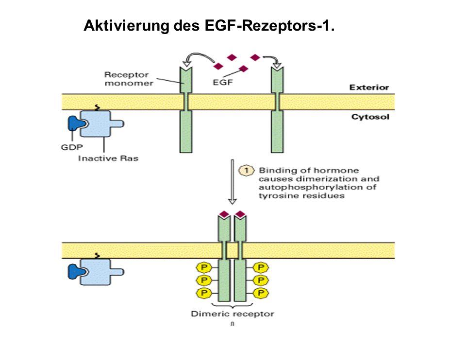 Aktivierung des EGF-Rezeptors-1.