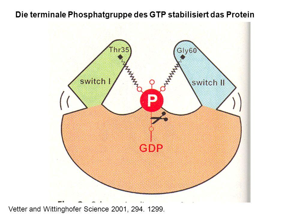 Die terminale Phosphatgruppe des GTP stabilisiert das Protein