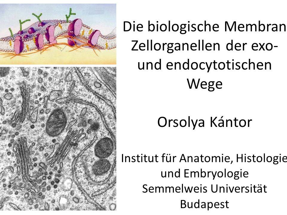 Die biologische Membran Zellorganellen der exo- und endocytotischen Wege Orsolya Kántor Institut für Anatomie, Histologie und Embryologie Semmelweis Universität Budapest