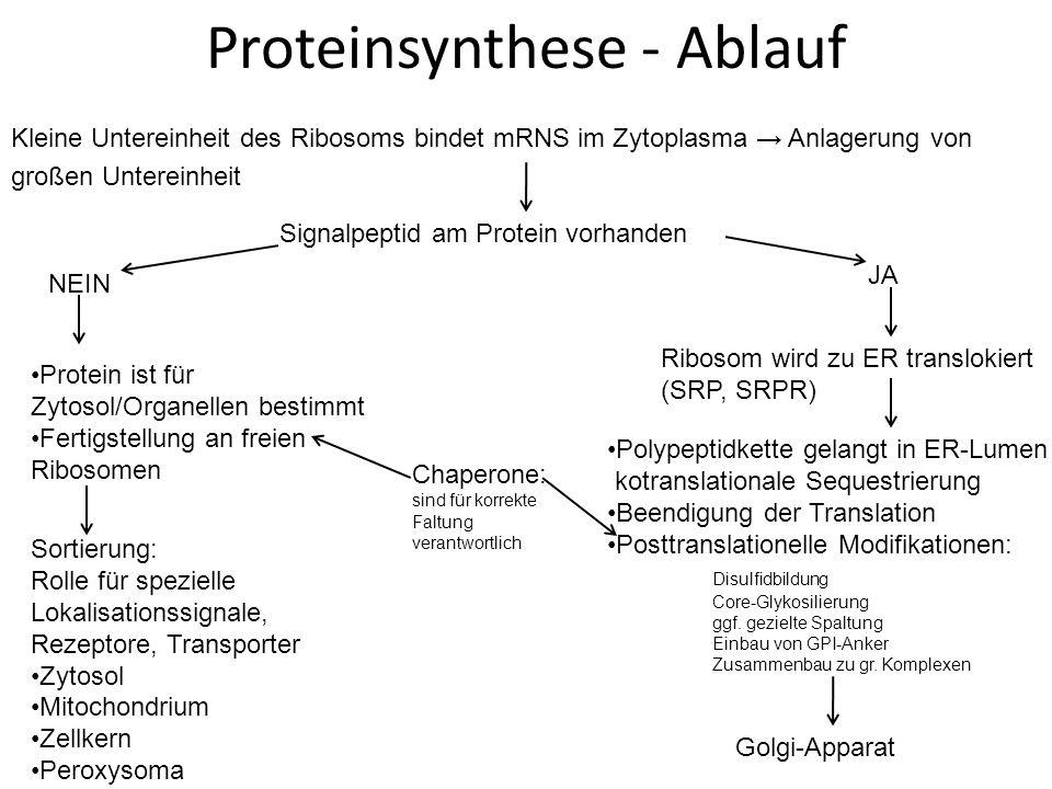 Proteinsynthese - Ablauf