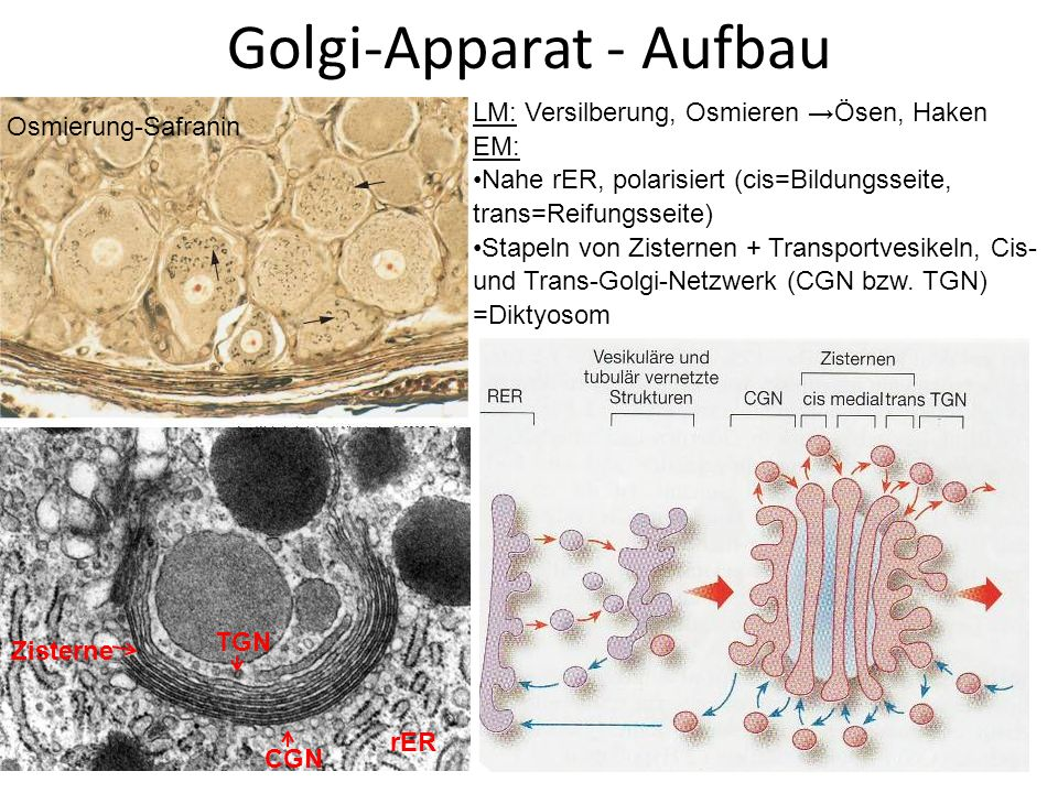 Golgi-Apparat - Aufbau