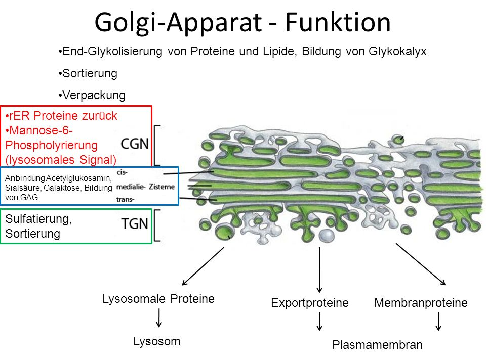 Golgi-Apparat - Funktion