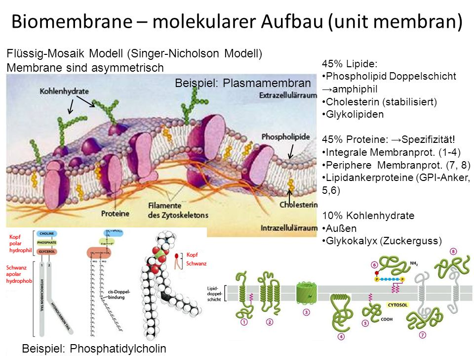 Biomembrane – molekularer Aufbau (unit membran)