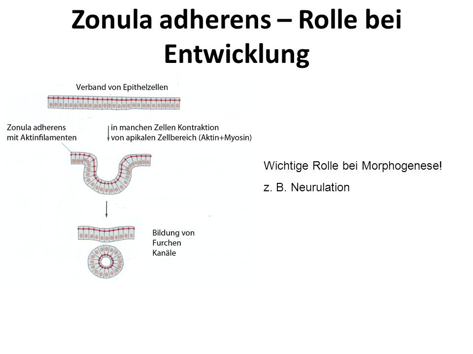 Zonula adherens – Rolle bei Entwicklung