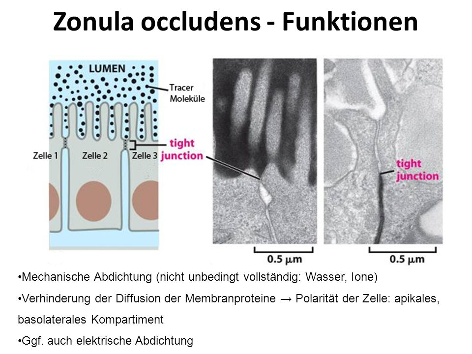 Zonula occludens - Funktionen