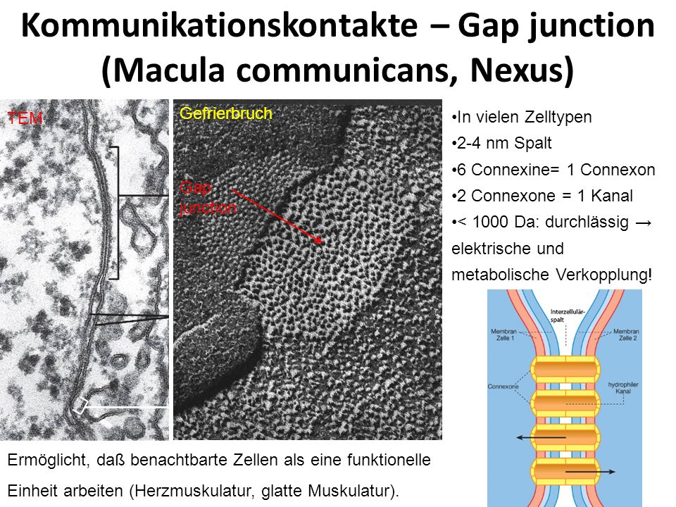 Kommunikationskontakte – Gap junction (Macula communicans, Nexus)