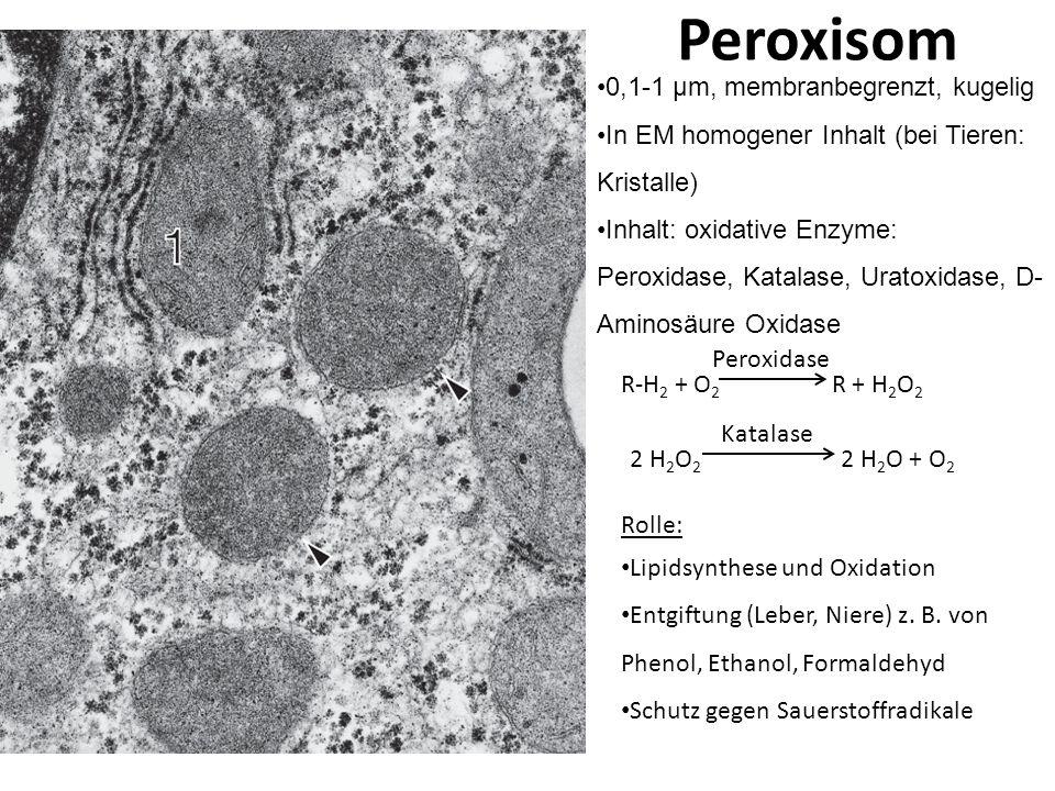 Peroxisom 0,1-1 μm, membranbegrenzt, kugelig