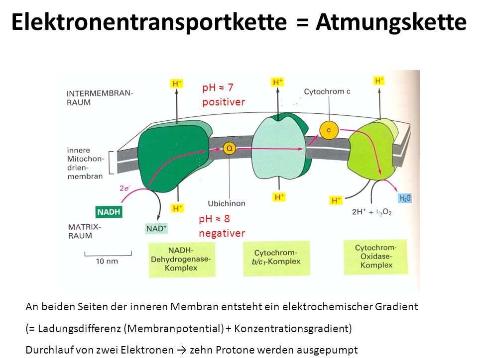 Elektronentransportkette = Atmungskette