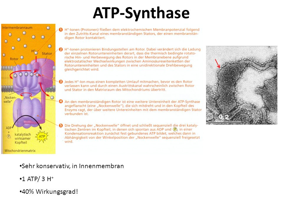ATP-Synthase Sehr konservativ, in Innenmembran 1 ATP/ 3 H+