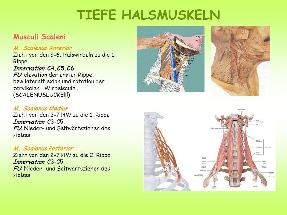 TIEFE HALSMUSKELN Musculi Scaleni M. Scalenus Anterior