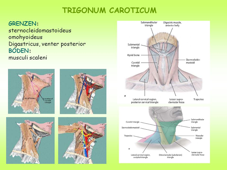 TRIGONUM CAROTICUM GRENZEN: sternocleidomastoideus omohyoideus