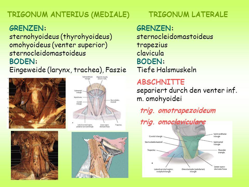 TRIGONUM ANTERIUS (MEDIALE)