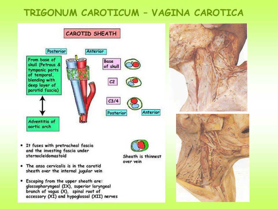 TRIGONUM CAROTICUM – VAGINA CAROTICA