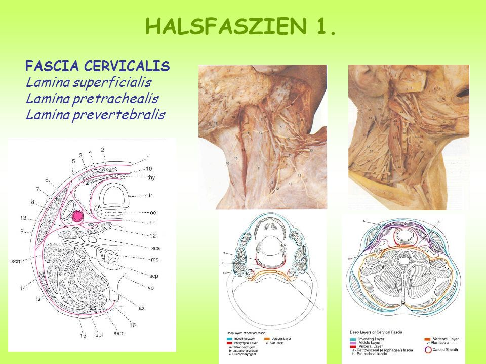 HALSFASZIEN 1. FASCIA CERVICALIS Lamina superficialis