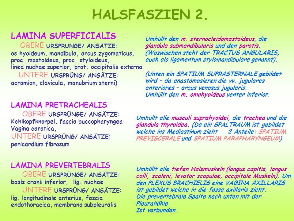 HALSFASZIEN 2. LAMINA SUPERFICIALIS OBERE URSPRÜNGE/ ANSÄTZE: