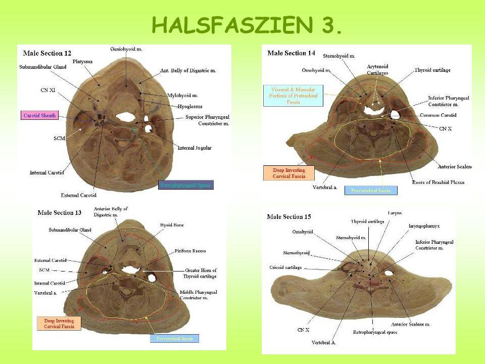 HALSFASZIEN 3.