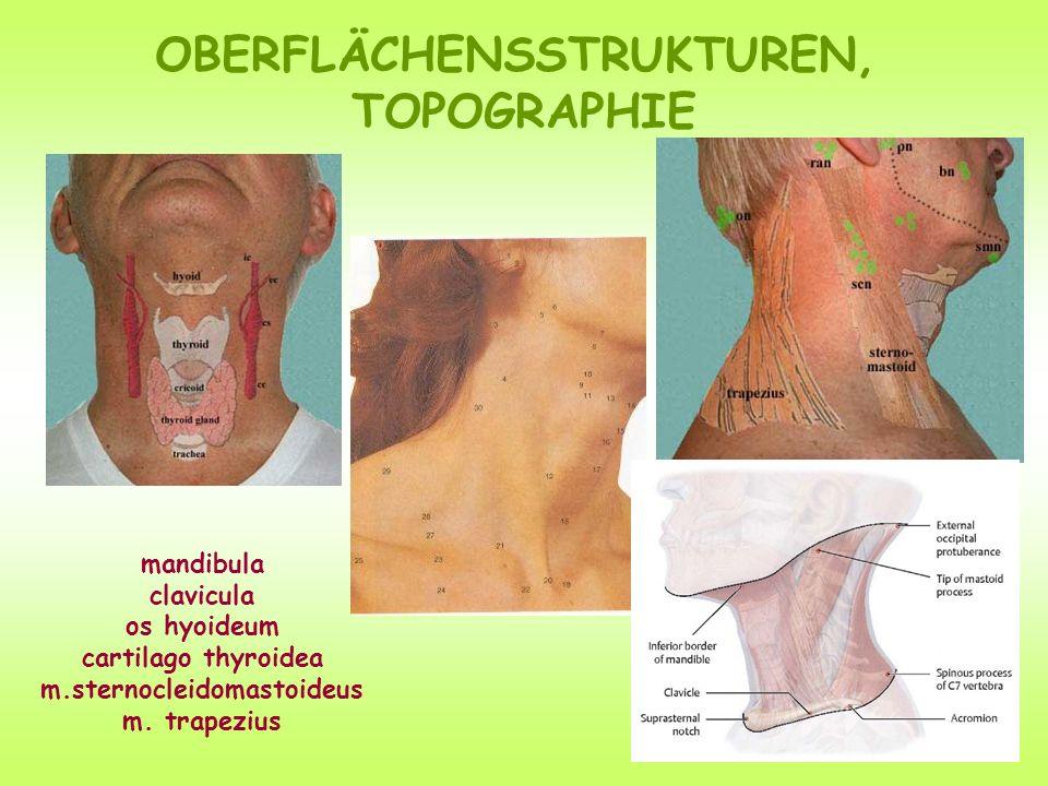 OBERFLÄCHENSSTRUKTUREN, m.sternocleidomastoideus