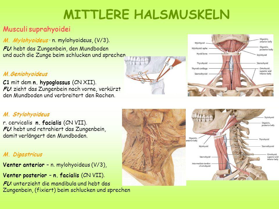 MITTLERE HALSMUSKELN Musculi suprahyoidei