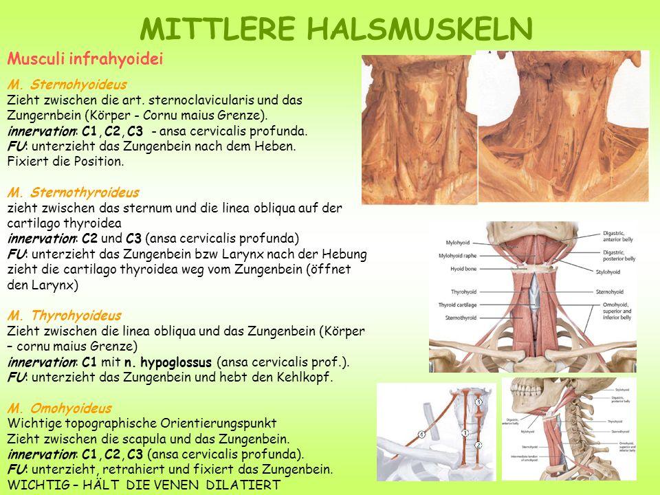 MITTLERE HALSMUSKELN Musculi infrahyoidei M. Sternohyoideus