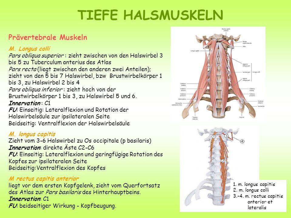 TIEFE HALSMUSKELN Prävertebrale Muskeln M. Longus colli