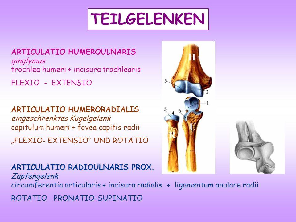 TEILGELENKEN ARTICULATIO HUMEROULNARIS ginglymus