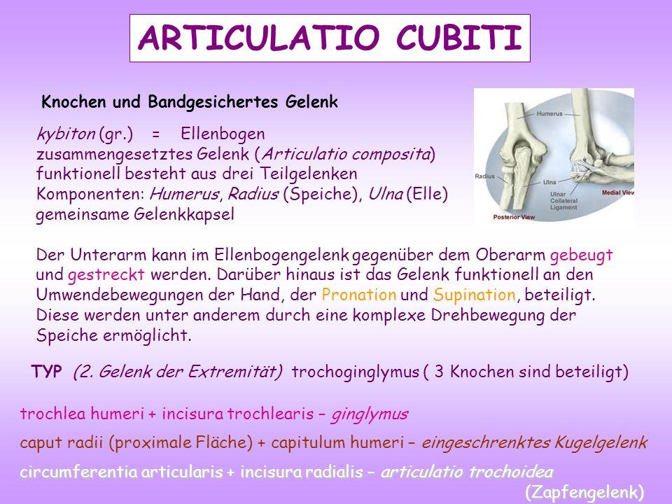 ARTICULATIO CUBITI Knochen und Bandgesichertes Gelenk