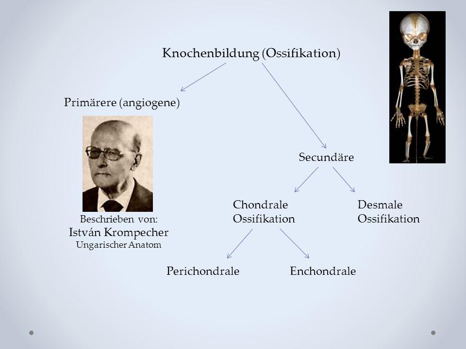 Knochenbildung (Ossifikation)