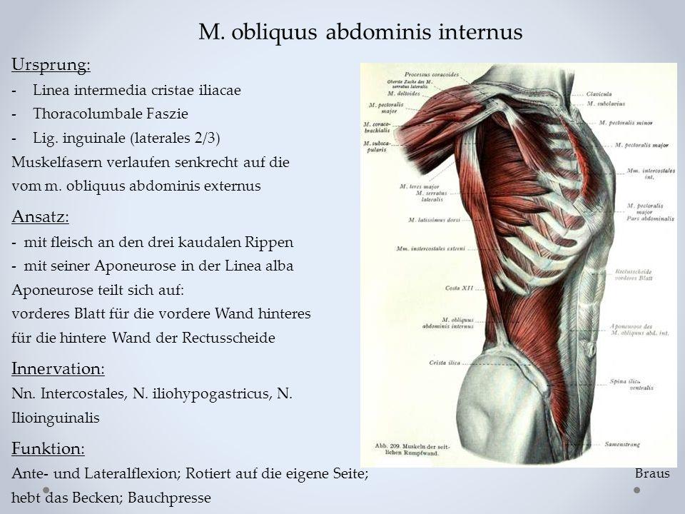M. obliquus abdominis internus