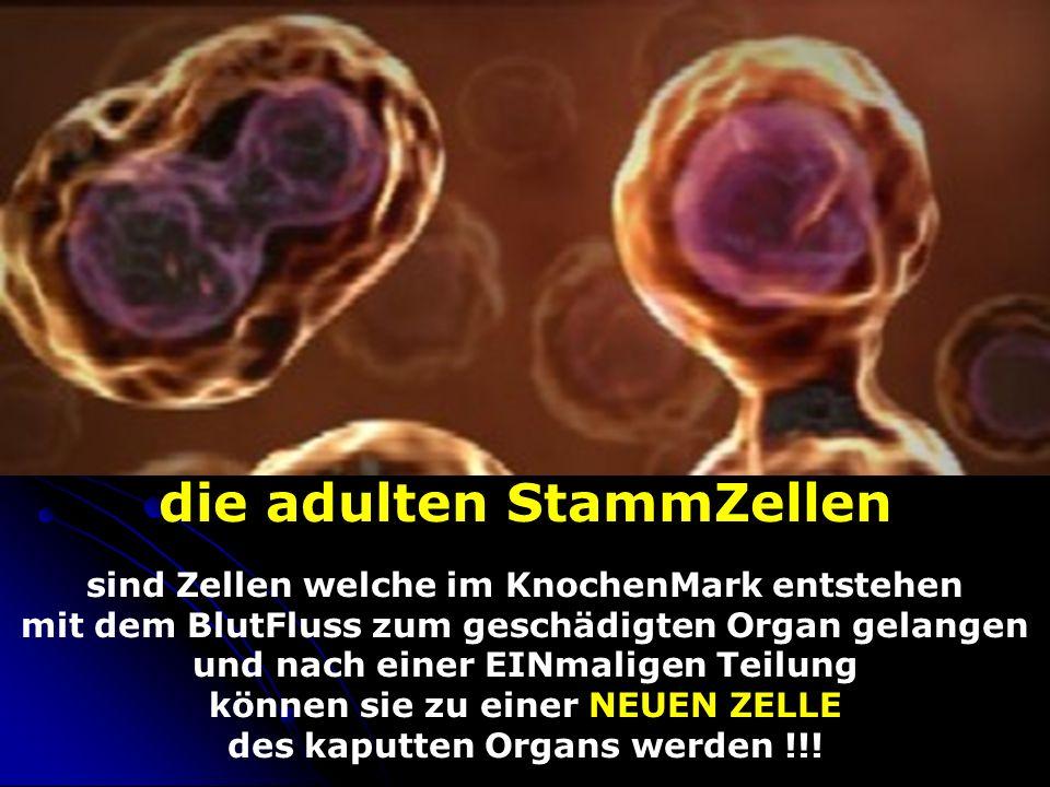 die adulten StammZellen sind Zellen welche im KnochenMark entstehen mit dem BlutFluss zum geschädigten Organ gelangen und nach einer EINmaligen Teilung können sie zu einer NEUEN ZELLE des kaputten Organs werden !!!