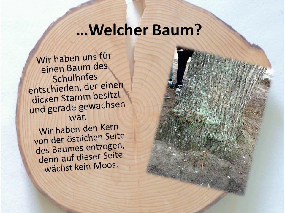 …Welcher Baum Wir haben uns für einen Baum des Schulhofes entschieden, der einen dicken Stamm besitzt und gerade gewachsen war.
