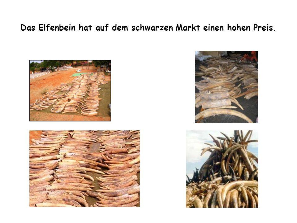 Das Elfenbein hat auf dem schwarzen Markt einen hohen Preis.