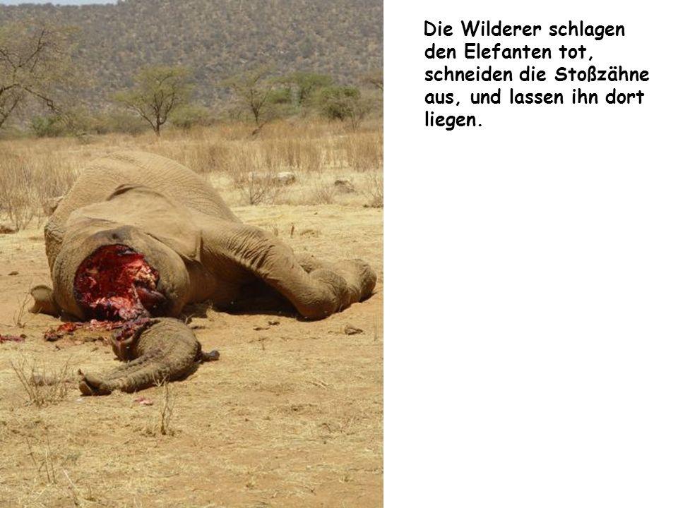 Die Wilderer schlagen den Elefanten tot, schneiden die Stoßzähne aus, und lassen ihn dort liegen.