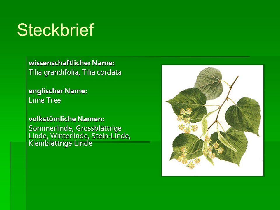 Steckbrief wissenschaftlicher Name: Tilia grandifolia, Tilia cordata