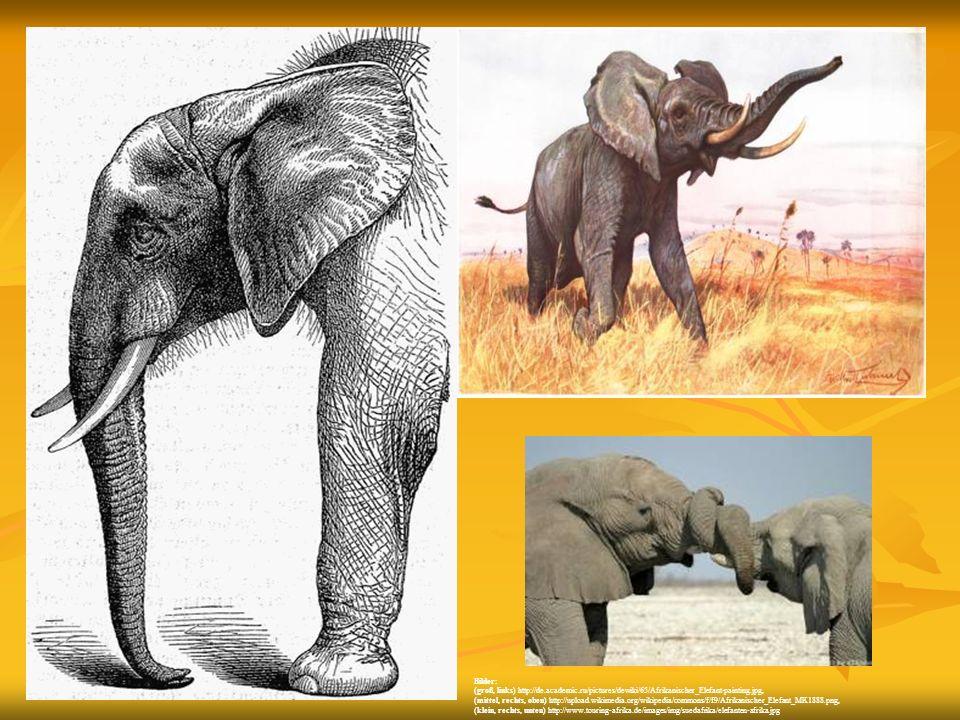 Bilder: (groß, links) http://de.academic.ru/pictures/dewiki/65/Afrikanischer_Elefant-painting.jpg,